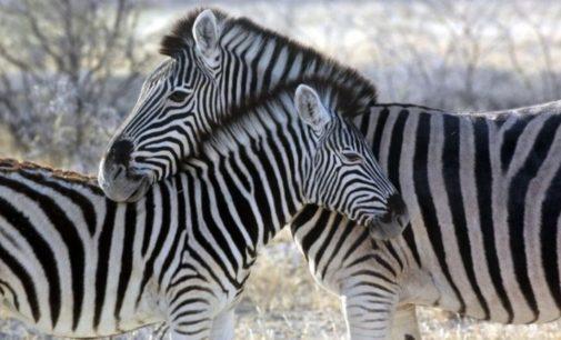 Zoológico de Egipto pintó burros para que parecieran cebras, los descubrieron cuando se le caí la pintura