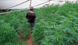 Permiso concedido para cultivar Cannabis como principio psicoactivo