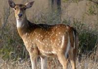 Manada de ciervos que se creían extintos